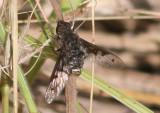Anthrax albofasciatus; Bee Fly species