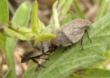 Lepyronia gibbosa; Hill-Prairie Spittlebugs
