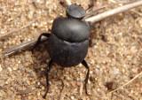 Melanocanthon nigricornis; Dung Beetle species