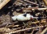 Notonecta undulata; Backswimmer species