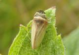 Aphrodes Leafhopper species; male