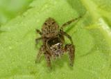 Evarcha hoyi; Jumping Spider species