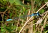 Enallagma aspersum; Azure Bluet; male