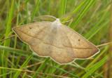 6739 - Euchlaena irraria; Least-marked Euchlaena