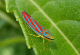 Graphocephala coccinea; Red-banded Leafhopper