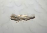 0486 - Bucculatrix montana; Ribbed Cocoon-maker Moth species