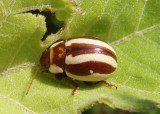 Calligrapha praecelsis; Leaf Beetle species