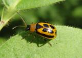 Cerotoma trifurcata; Bean Leaf Beetle