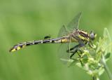 Gomphus externus; Plains Clubtail; female