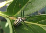 Leucauge venusta; Orchard Orbweaver