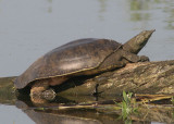 Spiny Softshell Turtle; female