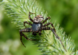 Bassaniana Bark Crab Spider species