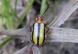Lema daturaphila; Three-lined Potato Beetle