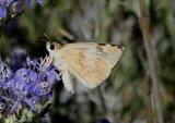 Heliopetes ericetorum; Northern White-Skipper; female