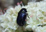 Saxinis Case-bearing Leaf Beetle species