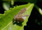 Dyctidea angustata; Tropiduchid Planthopper species