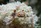 Phymata pacifica; Jagged Ambush Bug species