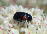 Saxinis saucia; Case-bearing Leaf Beetle species