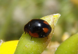 Exochomus californicus; Lady Beetle species