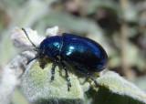 Chrysochus cobaltinus; Cobalt Milkweed Beetle