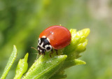 Cycloneda polita; Western Blood Red Lady Beetle; female