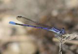Argia hinei; Lavender Dancer; male