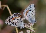 Euphilotes bernardino; Bernardino Blues; mating pair