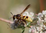 Euodynerus annulatus; Mason Wasp species
