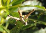 Morsea californica; Monkey Grasshopper species