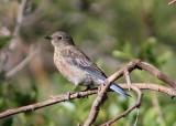 Western Bluebird; juvenile