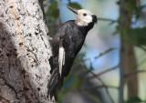 White-headed Woodpecker; female