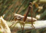 Tettigoniinae Shield-backed Katydid species nymph