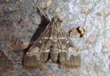 5156.5 - Duponchelia fovealis; European Pepper Moth; exotic