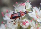 Tanaops Soft-winged Flower Beetle species