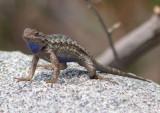 Great Basin Fence Lizard; male