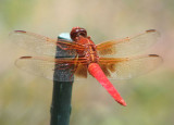 Libellula croceipennis; Neon Skimmer; male