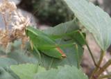Scudderia mexicana; Mexican Bush Katydid; male nymph