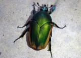 Cotinis mutabilis; Figeater Beetle