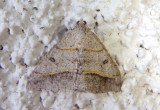 6396 - Digrammia neptaria; Dark-bordered Granite