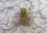 Neaethus Tropiduchid Planthopper species