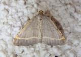 6301 - Speranza guenearia; Geometrid Moth species