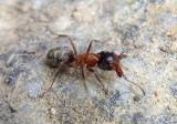 Liometopum occidentale; Velvety Tree Ant