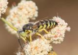 Bembix Sand Wasp species