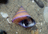Purple-ringed Top Shell