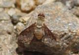 Neodiplocampta Bee Fly species