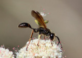 Isodontia elegans; Grass-carrying Wasp species