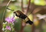 7855.1 - Hemaris thetis; Sphinx Moth species