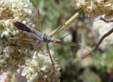 Zelus tetracanthus; Assassin Bug species