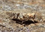 Trimerotropis occidentalis; Occidental Grasshopper; male