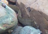 Rock Prickleback; juvenile